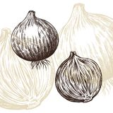 Onion draw engraving vector illustration Royalty Free Stock Image
