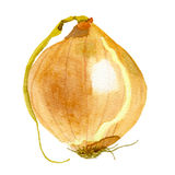 Onion drawing watercolor Stock Photography