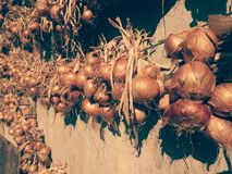 Onion is dried after harvesting.  Royalty Free Stock Photo