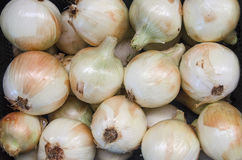 Onion Ecological Royalty Free Stock Images