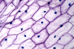 Onion epidermis with large cells under light microscope. Clear epidermal cells of an onion, Allium cepa, in a single layer. Each cell with wall, membrane royalty free stock photos