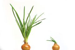 Onion family Stock Images