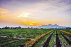 Onion farm in countryside at sunset Royalty Free Stock Photography