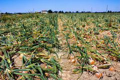 Onion field. Italian agriculture -harvesting onions in the field - onion is important ingredient of mediterranean diet Royalty Free Stock Image