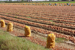 Onion field. Harvesting onions in the field - onion culture - italian agriculture royalty free stock photos