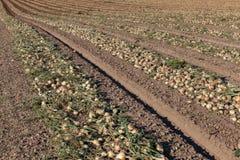 Onion field Stock Image