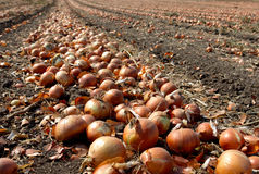 Onion field Stock Images