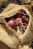 Onion Field royalty free stock photography
