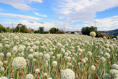 Onion field in countryside in italy Royalty Free Stock Image