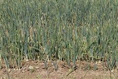 Onion field Stock Photo