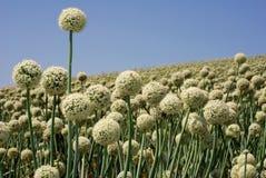 Onion field in flower. Spherical white onion flowers in a field royalty free stock image