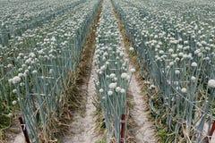 Onion field Royalty Free Stock Image