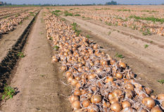 Onion field Stock Photo