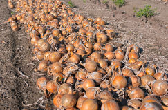 Onion field Royalty Free Stock Photos