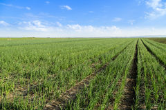 Onion field, maturing at spring. Agricultural landscape royalty free stock images