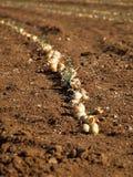 Onion field Stock Photos