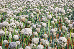 Onion field in summer Royalty Free Stock Images