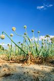 Onion field Royalty Free Stock Photo