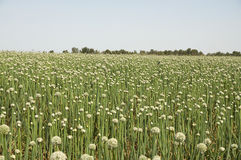 Onion Field Royalty Free Stock Images