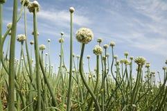 Onion Field Stock Photography