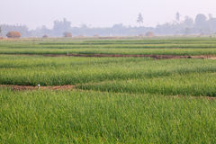 Onion Fields Under the Sun at North of Thailand Royalty Free Stock Images