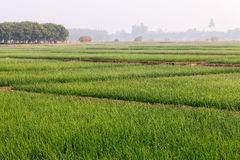 Onion Fields in Winter Under the Sun at North of Thailand Royalty Free Stock Photos