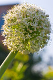 Onion flower royalty free stock photography