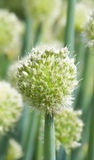 Onion flower Stock Photo