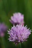 Onion flower Stock Photography