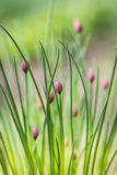 Onion flower buds Stock Images