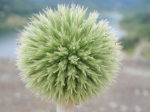 Onion flower buds royalty free stock photo