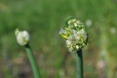 Onion flower buds, organic farming, closeup. Onion flower buds, organic farming, close up, green grass background royalty free stock photography
