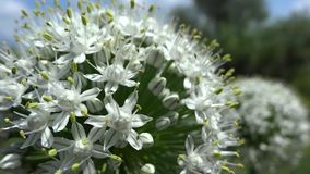 Onion flower close up in the breeze Royalty Free Stock Photo