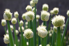 Onion flower. Close up of green onion head blooming at field Stock Photos