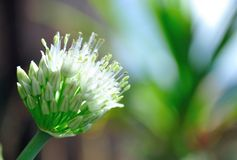 Onion Flower. A closeup of an onion flower Stock Image