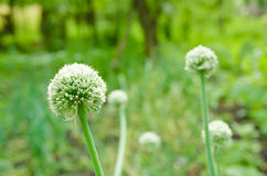 Onion flower Stock Photos