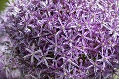 Onion flower in the garden. Magic flower of onion Stock Photos