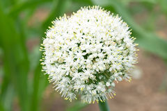 Onion flower head. In a garden Royalty Free Stock Photography