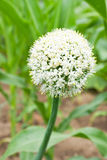 Onion flower head. In a garden Stock Images