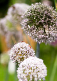 Onion flower heads Stock Images