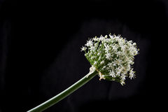 Onion flower Stock Images