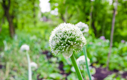 Onion flower Stock Image