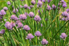 Onion flower plant vegetables Royalty Free Stock Photo