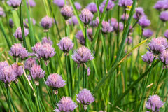 Onion flower plant vegetables Stock Image