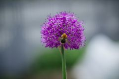 Onion flower in spring garden. Purple round green onion flower in a flowerbed in spring village garden stock photo