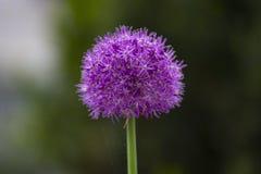 Onion flower in spring garden. Purple round green onion flower in a flowerbed in spring village garden stock images