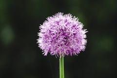 Onion flower in spring garden. Purple round green onion flower in a flowerbed in spring village garden stock photos
