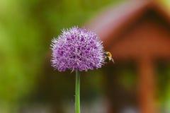 Onion flower in spring garden. Purple round green onion flower in a flowerbed in spring village garden royalty free stock photos