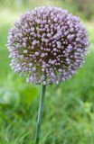 Onion flower stalks Stock Image