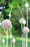 Onion flower stalks Royalty Free Stock Photography